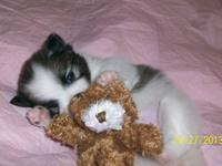 Female AKC Pomeranian, Ready to go December 1, 2013.