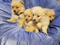 Puppies!! Now available! German Spitzers- more commonly
