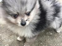 Pomeranian female puppies have their first shots and