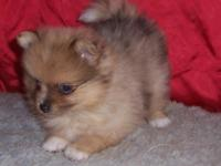 Male and Female Pomeranian puppies. Please contact me