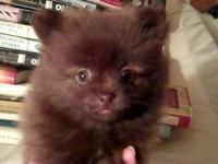 Adorable Pomeranian puppies! 1 Chocolate brindle male