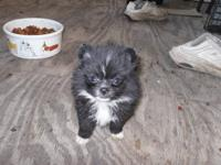 We have two litters of Pomeranian puppies(, they are