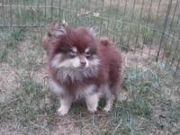 Pomeranian Puppies, Male and Female, $500 and up,