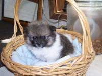 Registered pomeranian puppies ,one male black and white