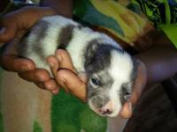 Pure bred Pomeranian puppies for sale 1) blue merle