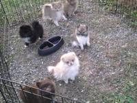 Adorable male Pom puppies for sale, 12 weeks old. Rare