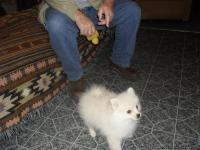One light cream and apricot colored male puppy, 15