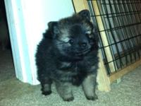 Beautiful Pom Puppies. Born Jan 22 and ready for homes