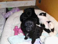 I have For Sale 3 Pomeranian male young puppies. They