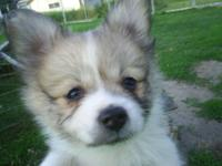 Purebred Pomeranian pups male 350 female 375. Set of