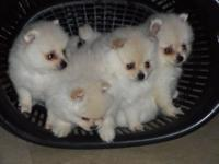 Pure breed Pomeranian puppies will be ready 12/15/2014