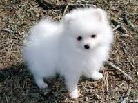 Ihave four pomeranian pups .Three sable one cream.