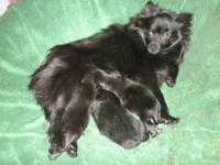 POMERANIAN PUPPIES ONE MALE AND ONE FEMALE,THEY GOING