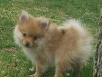 I have 2 adorable little male poms.They are 9 wks old