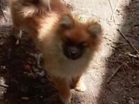Free to good home 1 male and 1 female Pomeranian