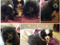Full breed tea cup blue pomeranian. With triple coat