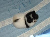 Male Pom 11 weeks old ready for his new home.. He comes