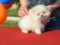 Male!! >Male cream color Ready to go to new lovingpet