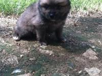 CKC registered Pomeranian Puppies. 8 weeks old. Shots