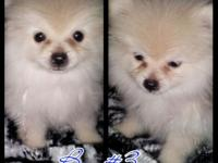 Hi I'm selling four Pomeranian puppies. They're two