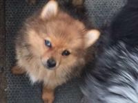 Pomeranian puppies! I have two black males, a black