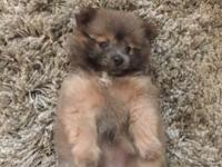 7 weeks Pomeranian ready for home,2 female,1 merle