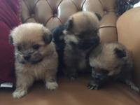 Ready December 1st I have 4 Pomeranians. $800 with