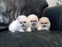 Pomeranian puppies are hand raised in our private