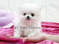 Pomeranian Puppies Boys/Girls 03 Months Old Very Tiny'