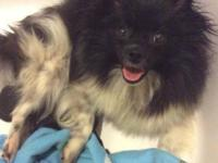 Pomeranian puppies female. Born 5/31/2015 ready the