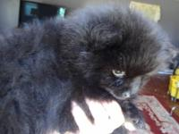 2 black male pomeranian puppies very thick coats . have