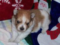Gorgeous Pomeranian puppies. Rare colors! Home Raised