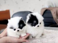 Adorable Teacup Pomeranian Puppies Available, They are