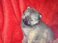 Pomeranian puppies for Adoption we have two of them for