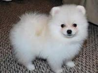 Wonderful Pomeranian puppies for adoption. Pups just