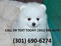 Meet Cute babies. Teacup purebred Pomeranian boy and a