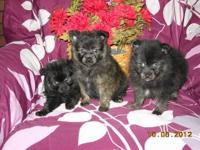 Three pomeranian puppies for sale one male and two