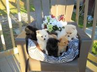 6 Pomeranian puppies for sale 3 girls and 3 boys . They