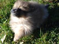 Pomeranian Puppies for sale. They were born on December