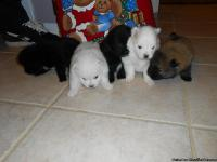 Precious Pomerian Puppies.  3 litters.  Ready