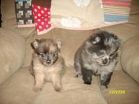 pomeranian puppiesborn on July 22 2015 will be ready