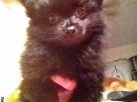 POMERANIAN PUPPIES FOR SALE Black with white markings .