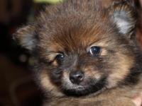 Pomeranian Puppies Home Raised. will be ready to go on