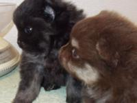 POM PUPPIES MALES OUT OF LAURA. CHOCOLATE N TAN ALSO A
