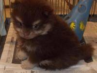 POM PUPPIES CHOCOLATE N TAN, ALSO BLACK N TAN. THEY ARE