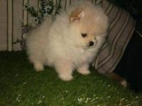 pomeranian puppies Males and Females 11 weeks old, both