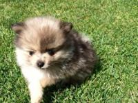 7 weeks and 8 weeks! Purebred Pomeranian puppies! From