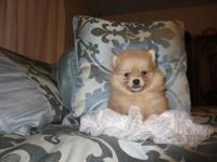 2 Beautiful Poms - Pickup will be in Sioux City or