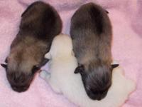 POM PUPPIES OUT OF SANDY. 1 WOLF SABLE /CREAM SABLE. 2