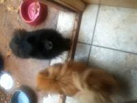 I have two female puppies one is brown and one is cream